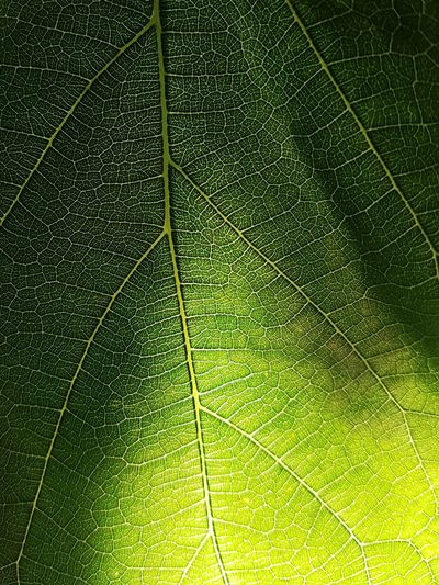 green leaf against sunlight Green Leaf Sunlight Pattern Fresh Plant Veins Nature
