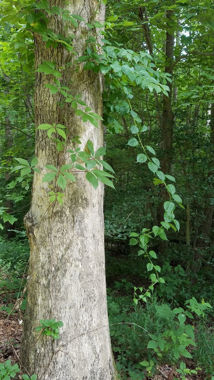 IVY GROWING ON TREE TRUNKS