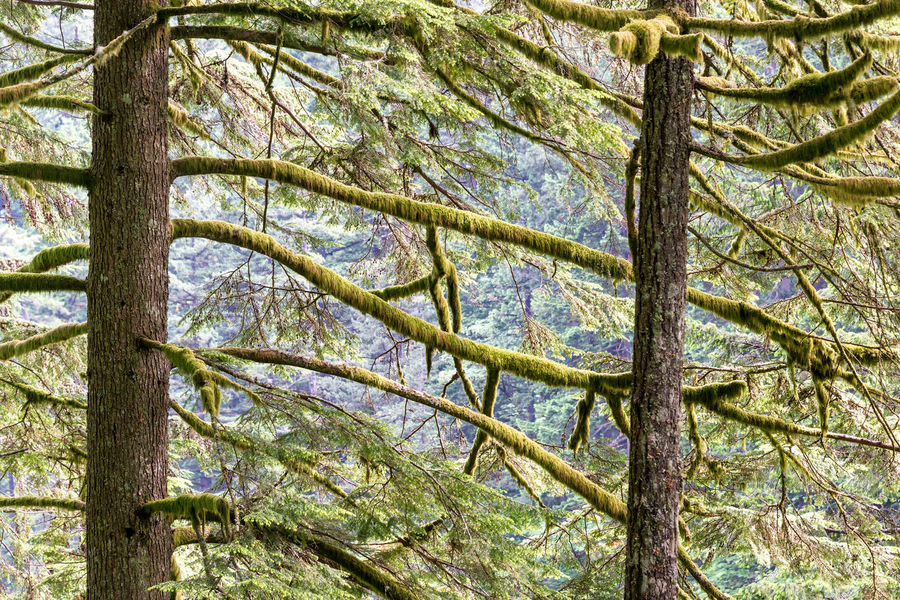 Tall moss covered pine trees in the Columbia River Gorge in Oregon Creek Environment Falls Forest Gorge Green Landscape Multnomah Multnomah Falls  Natural Nature Oneonta Oneonta Falls Oregon Outdoors Pacific Northwest  Portland Portland, OR Scenery Scenic Stone Stream Tree Trees Waterfall