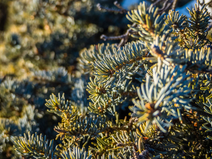 Wilderness Area Beauty In Nature Branch Canada Close-up Cold Temperature Day Freshness Growth Nature Needle No People Outdoors Pine Tree Plant Sunlight Tranquility Tree Wilderness Wilderness Adventure Yukon Territory