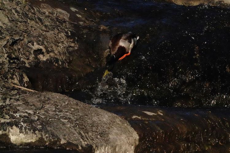 Duck Water Rock