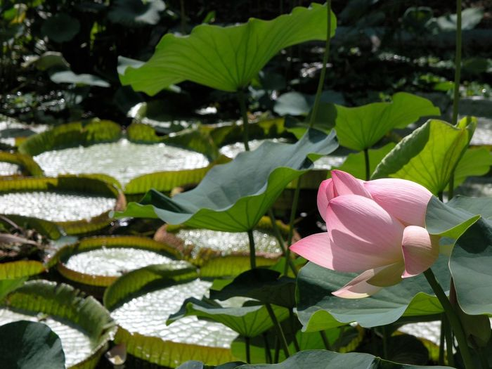 Close-up of water lily blooming in pond