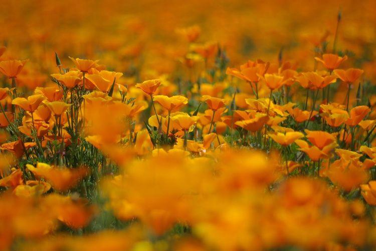 Flower ポピー 埼玉県鴻巣市 カリフォルニアポピー Pentax K-3