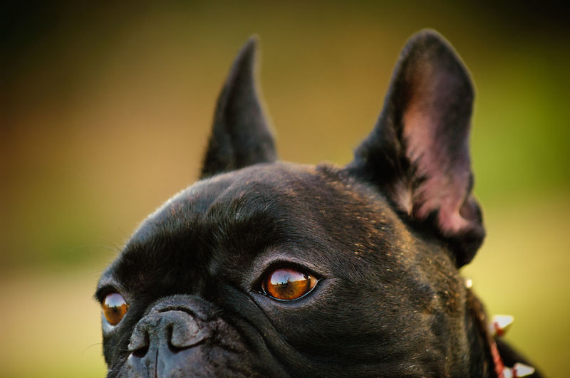 French Bulldog Animal Animal Head  Animal Themes Close-up Dog Domestic Animals French Bulldog Natural Light No People Outdoors Pet