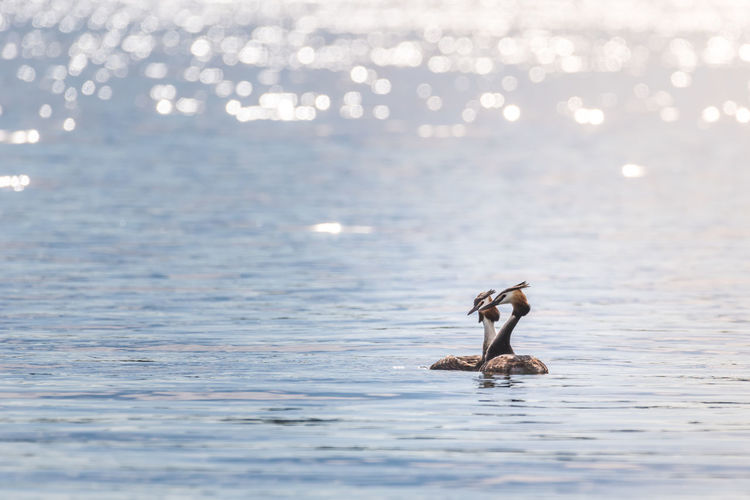 Two grebes are