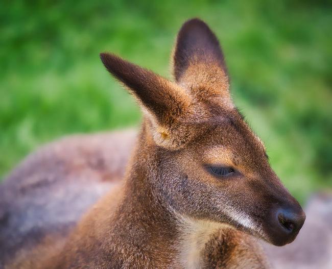 Close-up of a kangaroo looking away