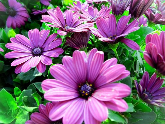 Beautiful sunshine Flower Head Flower Osteospermum Eastern Purple Coneflower Pink Color Petal Pollen Purple Close-up Blooming