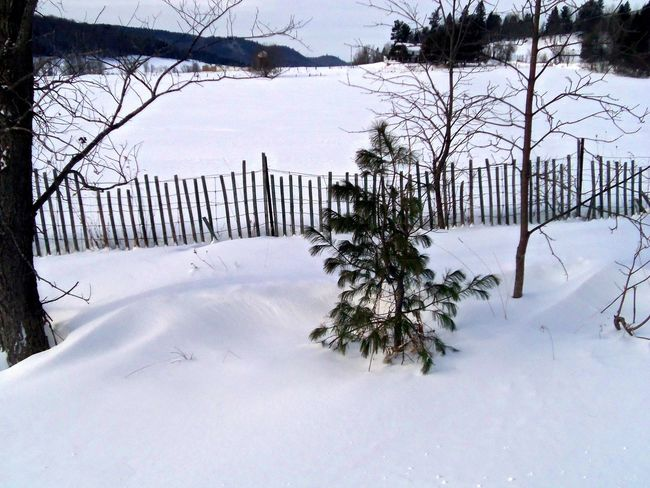 Charlie Brown's Christmas Tree ? Bare Tree Beauty In Nature Charlie Brown Christmas Tree Christmas Tree ~ Cold Temperature Day Field Landscape Nature No People Outdoors Scenic Scenics Sky Snow Snow Covered Field Snow Fence Snowscape Tranquility Tree Weather White Color Winter Winter Wonderland Winter Wonderland ❄