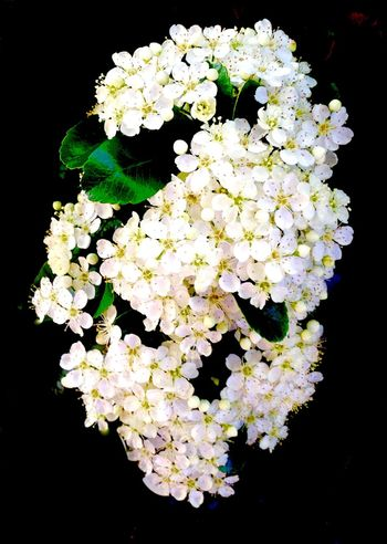 Pyracantha Growing Our Own