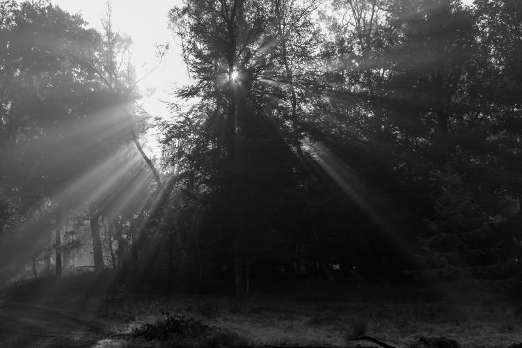 Celebrating the morning in the forests of The Veluwe, The Netherlands - Sunlight coming from behind a tree Black & White Black And White Blackandwhite Blackandwhite Photography Contrast Forest Forest Photography Forestwalk Light Light And Shadow Morning Morning Light Nature Nature Photography Nature_collection Naturelovers Sun Sunlight Tree Trees