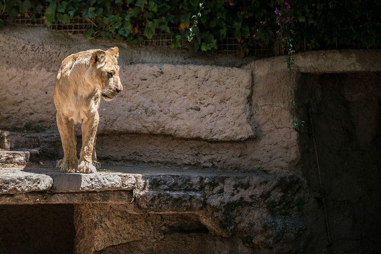 Lioness on stone