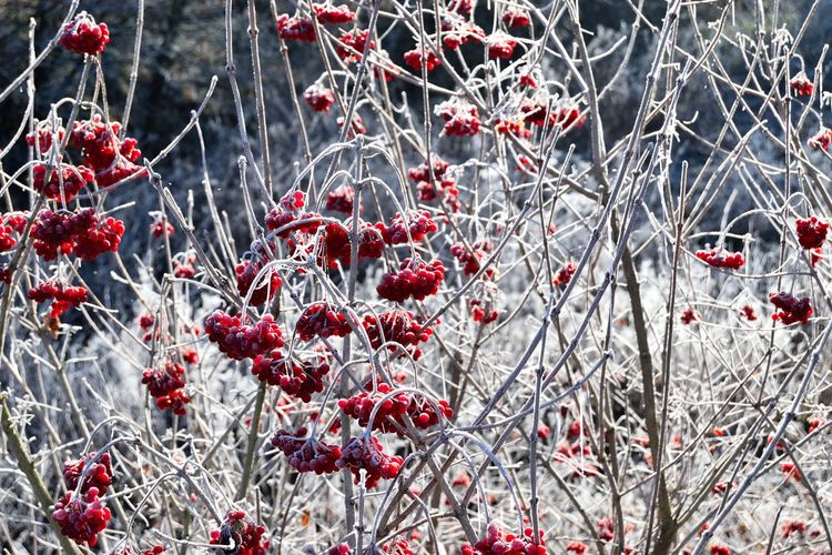 Frozen cherry plants on field