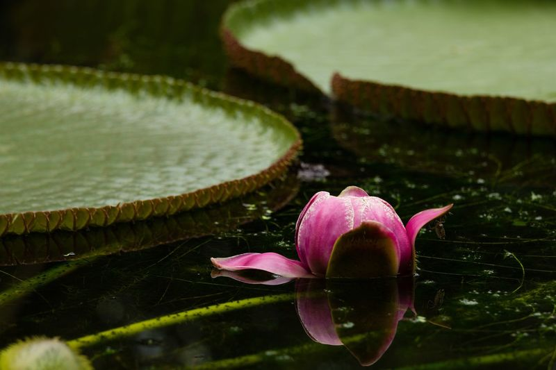 Victoria amazonica Victoria Amazonica Flower Plant Freshness Flowering Plant Water Beauty In Nature Water Lily Close-up Lake Leaf No People