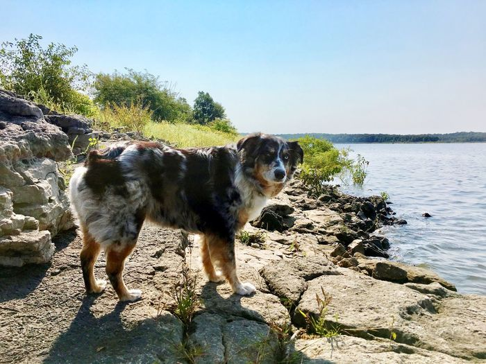 Zara of the Ozarks Aussies Dog Pets Domestic Animals Animal Themes One Animal Day Outdoors Clear Sky Water Sunlight