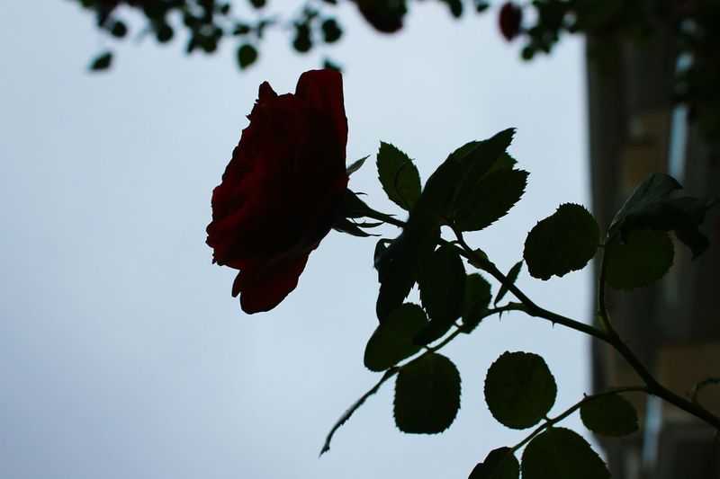 Flower Nature Leaf No People Beauty In Nature Day Close-up Freshness Rose - Flower Rosé İn Holiday In Morning Everythink Sleep