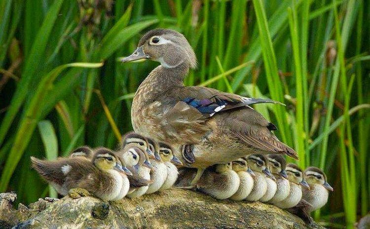 Hermosa familia, Patos Nature Hi! Taking Photos Hello World Nature_collection Animals