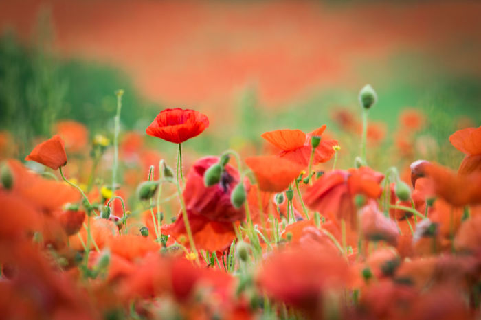 Poppies in a field Beauty In Nature Blooming Flower Nature No People Outdoors Plant Poppies  Poppies Field Poppies In Bloom Poppy Poppy Field Poppy Fields Poppy Flower Poppy Flowers Red