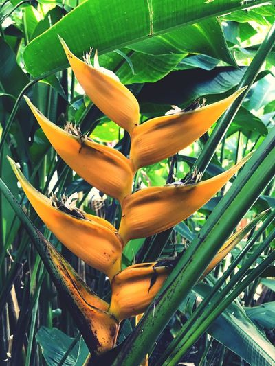 Blooming Tropics Growth Beauty In Nature Outdoors Helaconia Vibrant Colour