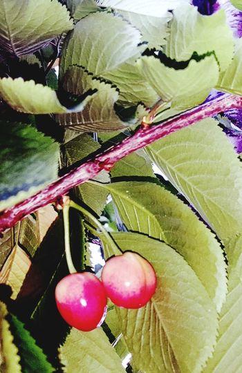 Cherries🍒 Cherrish The Moment Cherry Cherry Flower Cherrytree Agriculture Beauty In Nature Outdoors Nature Cherries, Well Pump,summer,flower Garden, Cherrie