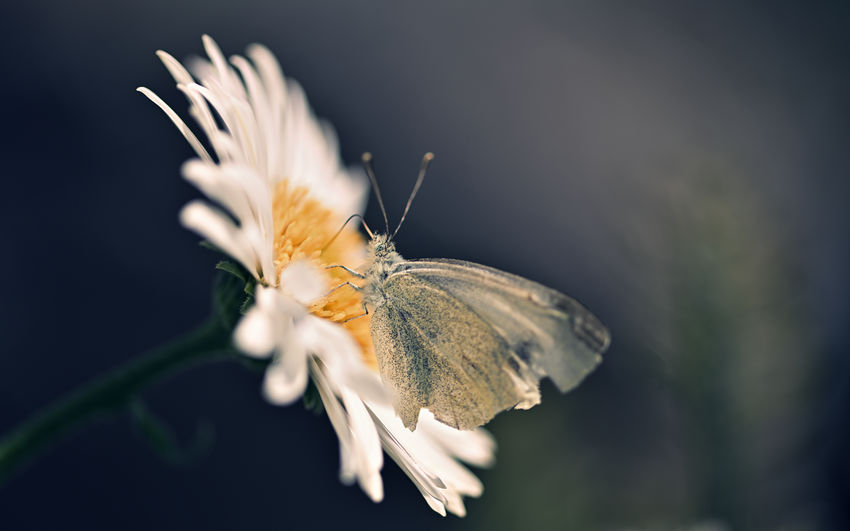 White Butterfly off a Alpine Aster Blossom ( Aster alpinus ) Flower Plant Beauty In Nature Flowering Plant Close-up Fragility Invertebrate Vulnerability  One Animal Growth Insect Animal Animal Wildlife Animal Themes No People Animal Wing Selective Focus Nature Freshness Butterfly - Insect Flower Head Pollen Butterfly Blossom Makro Photography Makro Naturelovers EyeEm Nature Lover Nature Nikon Nikonphotography Biodiversity Environment Beautiful Nature Flora