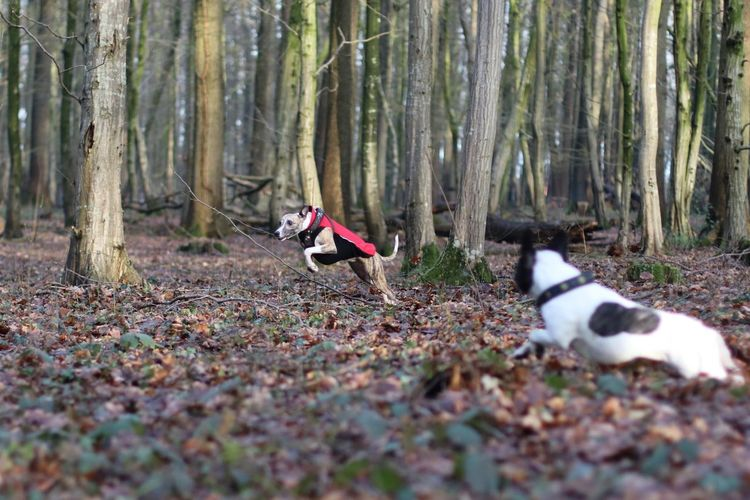 Dog Dog Friends Dog Friendship Doggy Friends Dogs Dogs In Action Französische Bulldogge  French Bulldog Frenchbulldog Hund Hund In Aktion Hunde Hunde Im Wald Hunde In Aktion Hungary Laufende Hunde Outdoors Playing Playing Dogs Running Dogs Spielende Hunde Whippet Whippets