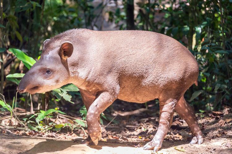 Brazilian Tapir Walking On Field At Madidi National Park