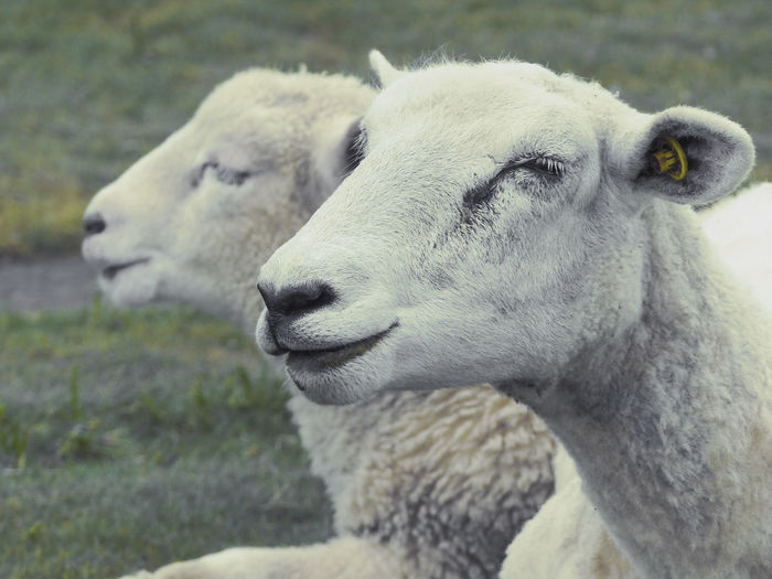 Animal Body Part Animal Head  Animal Themes Close-up Day Domestic Animals Field Focus On Foreground Front View Herbivorous Livestock Looking At Camera Mammal Nature No People One Animal Outdoors Portrait Sheep Sheep Photography Wildlife Two Is Better Than One