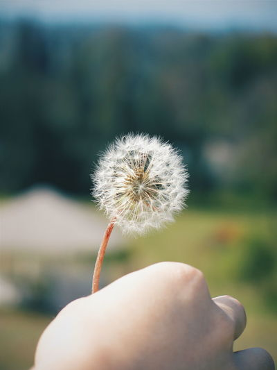 Cropped image of hand holding white dandelion
