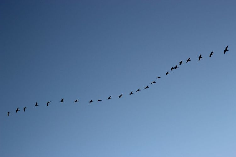 Flock Of Bird Flying In Line Together