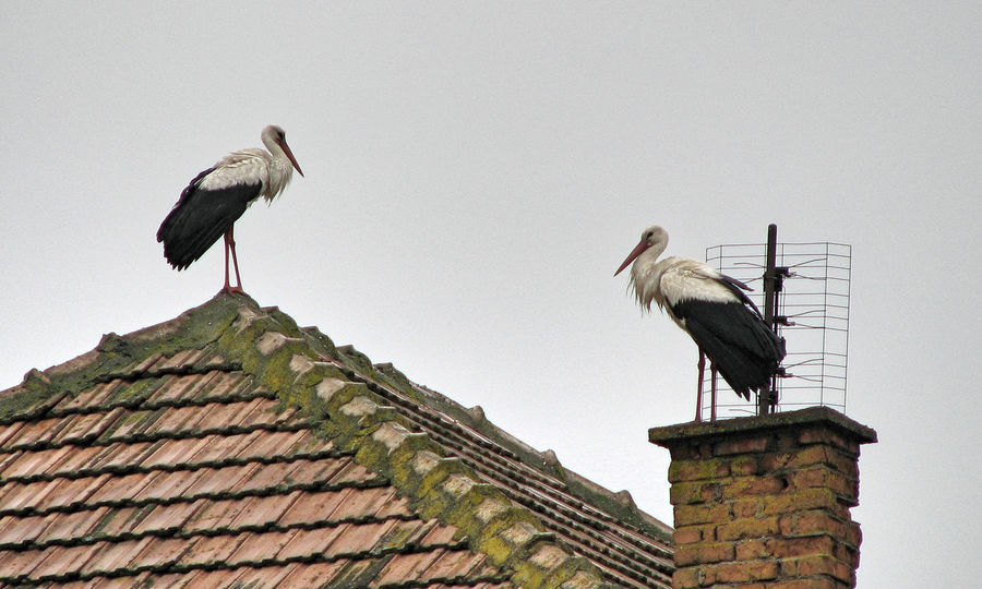 Transylvania Animal Themes Animal Wildlife Animals In The Wild Architecture Beauty In Nature Bird Building Exterior Built Structure Clear Sky Day Flue Funnel Low Angle View Nature No People Outdoors Perching Roof Sky Smokestack Stork Storks Two Animals White Stork