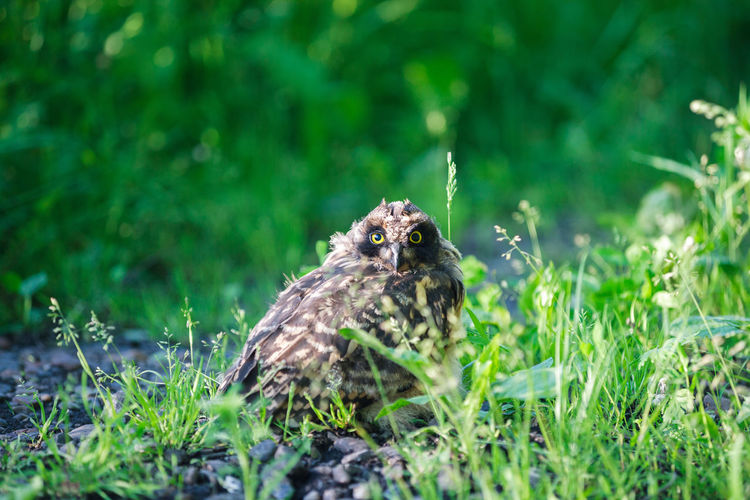 Young curious owl Animal Animal Themes Animal Wildlife Animals In The Wild Bird Bird Of Prey Day Grass Green Color Land Nature No People One Animal Owl Owl Eyes Owl Photography Selective Focus Young Bird Young Owl