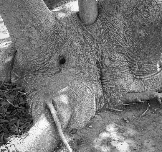 Elephant tree Forms Taking Photos Curiosity Bnw_friday_eyeemchallenge Blackandwhite Black And White