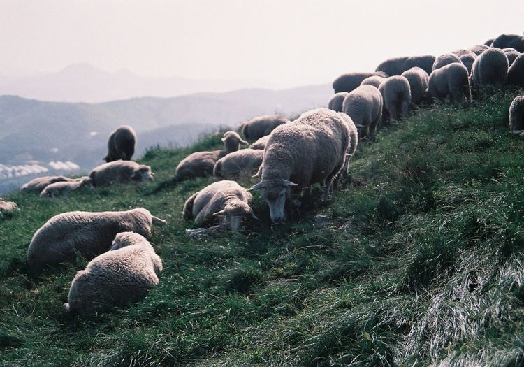 Flock of sheep grazing on grassy mountain against sky