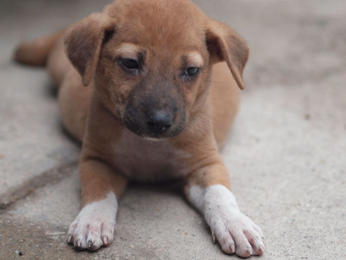 Close-up of brown puppy lying on street