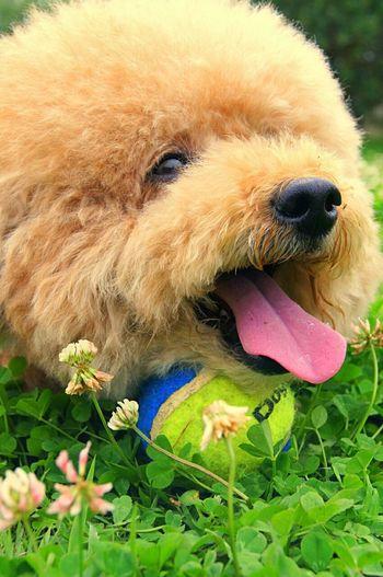 Dog Dog Love Dogs Of EyeEm Toypoodles Life EyeEm Best Shots Lovely