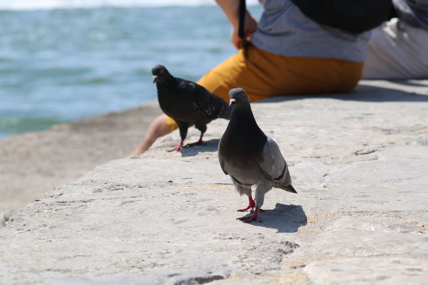Bird Sea Animal Themes One Animal Day Nature Water Pidgeons Pidgeon  Pidgeonlife Animals In The Wild Outdoors Beauty In Nature Feather  Close-up City Lisboalive Lisbonlovers Lisbon Downtown Lisboa Portugal Street Pidgeons Birds Sky Sun Town