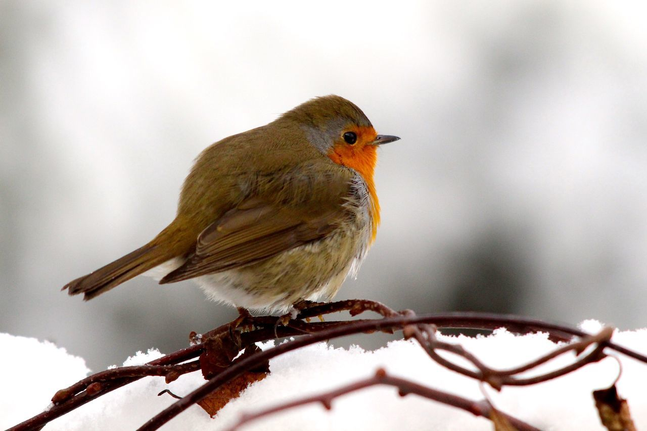 Side View Of Bird Perching On Branch During Winter