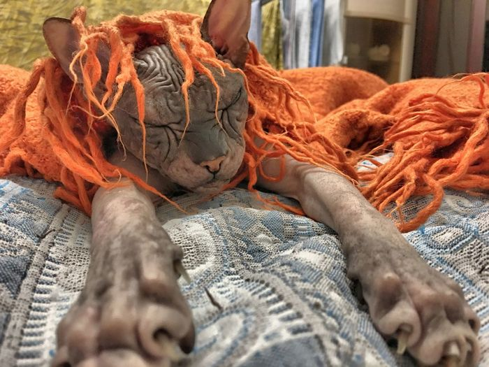 Sphynx Hairless Cat With Orange Scarf On Bed