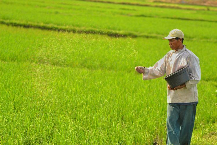 Farmer sprinkling seeds at rice paddy