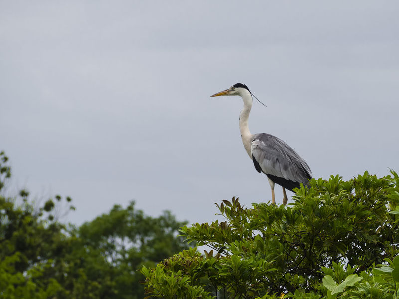 Grey heron standing on a tree Animal Animals In The Wild Beak Beauty In Nature Bird Egret Fauna Feather  Forest Green Grey Heron  Heron Legs Nature Neck Nest No People Ornithology  Outdoors Perching Tree Water Bird Wild Wild Bird Wildlife