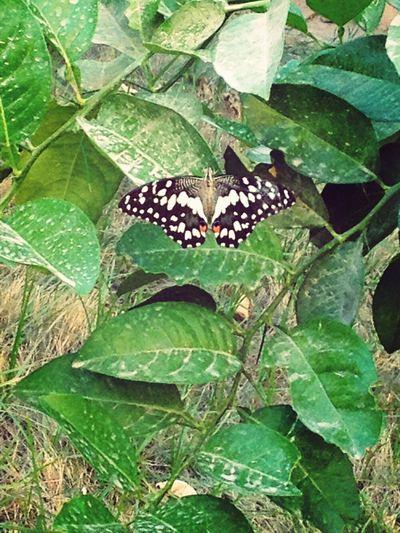 #Butterfly#butterflies