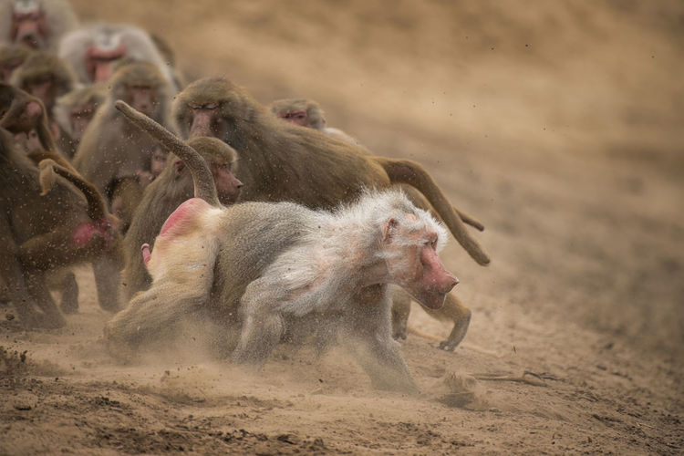 Close-Up Of Baboons