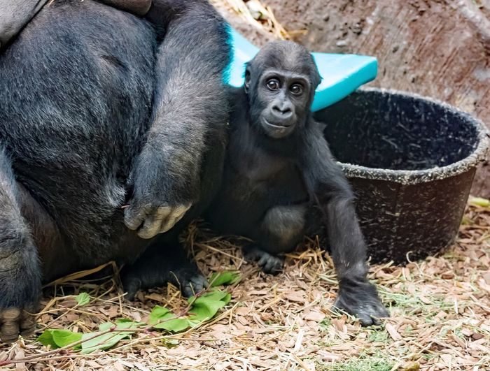 High angle view of infant with gorilla