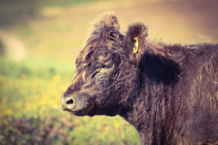 Close-up of a belted galloway on field