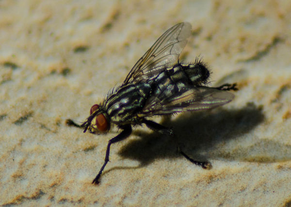 Fly /macro/ Fly Macro Photography Animal Animal Body Part Animal Themes Animal Wildlife Animal Wing Animals In The Wild Arthropod Close-up Day Extreme Close-up Fly Full Length Housefly Insect Invertebrate Macro Nature No People One Animal Outdoors Selective Focus