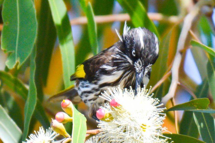 New Holland Honeyeater Honeyeater Gazisonit New Holland Honey Eater Animal Themes Animal Wildlife Animals In The Wild Beauty In Nature Bird Close-up Day Flower Flower Head Fragility Freshness Growth Nature No People One Animal Outdoors Perching Plant