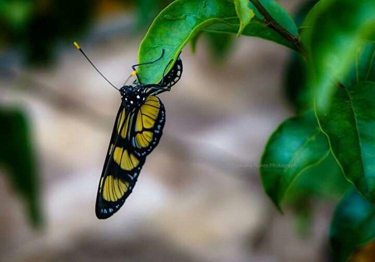 Borboleta Borboletas Biologia Minhacasa Minhasfotos Buterfly Mataatlantica Naturelovers NaturezaMaravilhosa Nature Photography Nature_collection