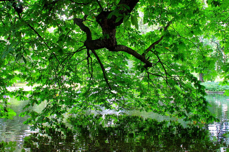 Green Pond Reflection Water Reflections Beauty In Nature Branch Branch Of A Tree Day Garden Green Color Growth Lake Leaf Leaves Leaves Reflected In Water Nature No People Outdoors Reflections Reflections In The Water Summer Symmetry Tree Water Water Reflection