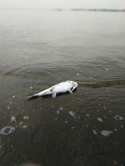 fish Water Sea Sea Life Beach Animal Themes Koi Carp Carp Water Pollution Fish