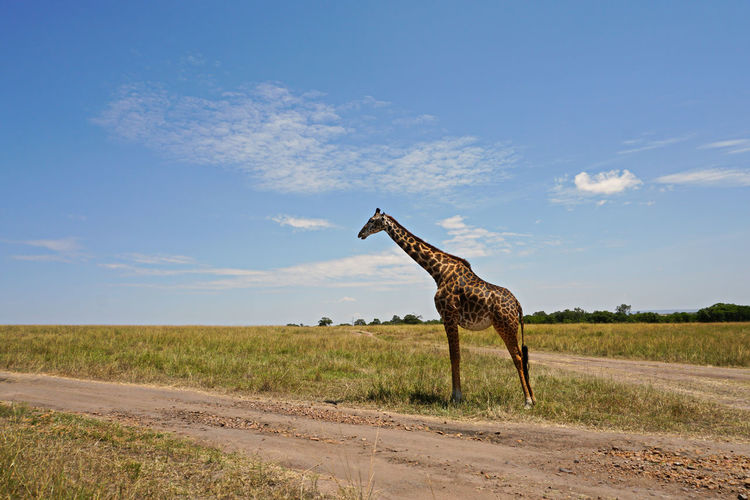 View of giraffe on field against sky